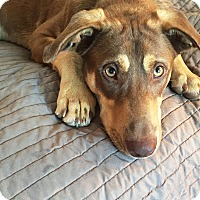 Adopt A Pet :: Tanner - New Braunfels, TX