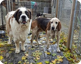 St. Bernard/Hound (Unknown Type) Mix Dog for adoption in NYC, New York - Charlie and Copper