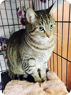 Domestic Shorthair Cat for adoption in Holland, Michigan - Marcie