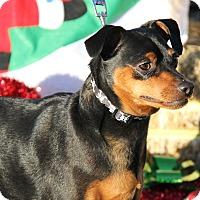 Miniature Pinscher Mix Dog for adoption in Marietta, Ohio - Lil Wayne (Neutered)