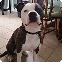 Adopt A Pet :: Petey - Gilbert, AZ