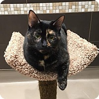 Domestic Mediumhair Cat for adoption in Alpharetta, Georgia - Tonya