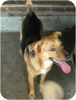 rat terrier german shepherd mix sc adopted dog 13303 varnville sc rat terrier 9840