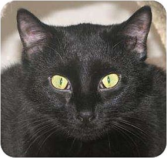 Domestic Shorthair Cat for adoption in Woodstock, Illinois - Jinx