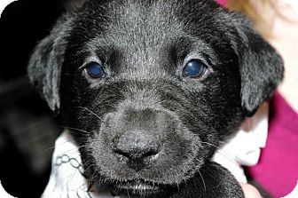 Labrador Retriever Mix Puppy for adoption in Huntsville, Alabama - Opal