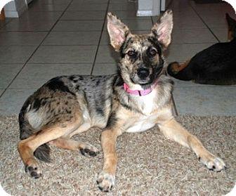 ...   Flower Mound, TX   Catahoula Leopard Dog/German Shepherd Dog Mix