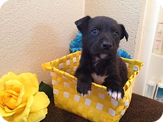 Labrador Retriever/German Shepherd Dog Mix Puppy for adoption in Inglewood, California - Django