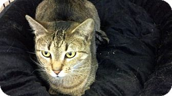 Domestic Shorthair Cat for adoption in Pineville, North Carolina - Speedy