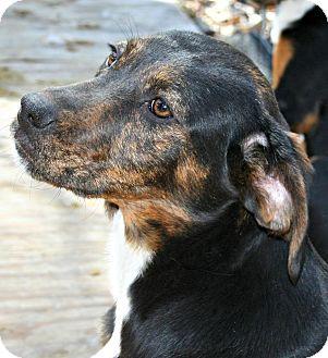 Plott Hound Mix Dog for adoption in Morgantown, West Virginia - Sugar