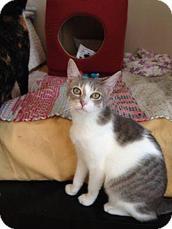 Domestic Shorthair Cat for adoption in Stafford, Virginia - Trisket
