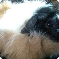 Adopt A Pet :: Toph - Fullerton, CA