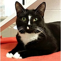 Domestic Shorthair Cat for adoption in Huntington, New York - Tad