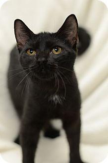 Domestic Shorthair Cat for adoption in Atlanta, Georgia - Lavista151703