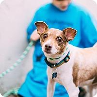 Adopt A Pet :: Jackson Brown - Claremont - Chino Hills, CA