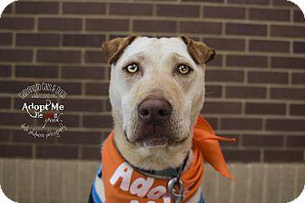 Shar Pei Mix Dog for adoption in Mooresville, North Carolina - Kahuna
