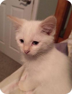Domestic Shorthair Cat for adoption in West Des Moines, Iowa - Snowball