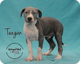 Pit Bull Terrier Mix Puppy for adoption in Topeka, Kansas - Teagan