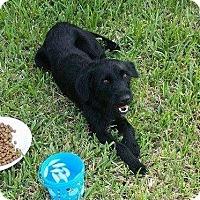 Adopt A Pet :: Sammie 4 - Aurora, CO