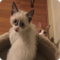 Siamese Kitten for adoption in Alhambra, California - DC