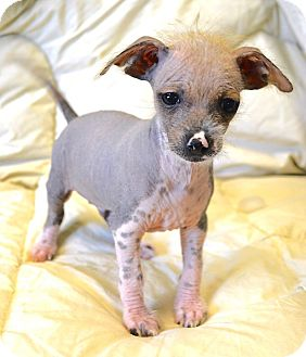 Chinese Crested Puppy for adoption in Westport, Connecticut - *Rum - PENDING