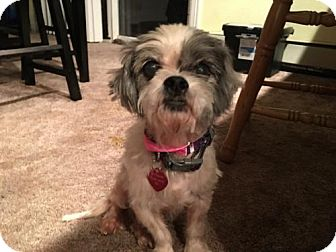 Havanese/Shih Tzu Mix Dog for adoption in Aurora, Colorado - Chaplin