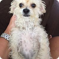 Poodle (Miniature)/Maltese Mix Dog for adoption in San Diego, California - Laverne