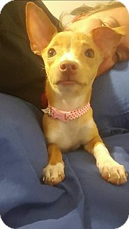 Chihuahua Mix Puppy for adoption in Windermere, Florida - Tink
