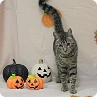 Domestic Shorthair Cat for adoption in Stockton, California - Rebekah