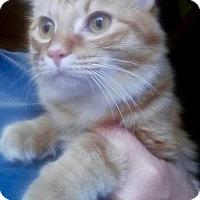 Adopt A Pet :: Pheonix - Danbury, CT