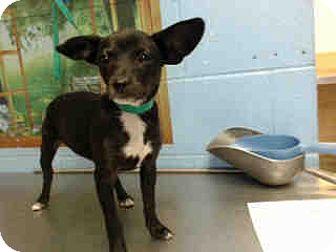 Terrier (Unknown Type, Small)/Chihuahua Mix Puppy for adoption in San Bernardino, California - URGENT on 11/4 SAN BERNARDINO