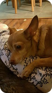 Chihuahua Mix Dog for adoption in Cranston, Rhode Island - CHAMP