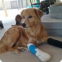 Adopt A Pet :: Sherlock - Mesa, AZ