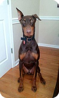 Doberman Pinscher Puppy for adoption in Lafayette, Indiana - Bogie