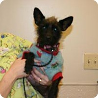 Cairn Terrier Mix Dog for adoption in Wildomar, California - 327500 LF