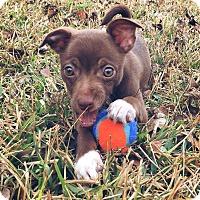 Adopt A Pet :: Kit Kat - Denver, CO