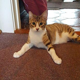 Domestic Shorthair Cat for adoption in Monrovia, California - Caramella (Cara)