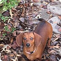 Adopt A Pet :: Cinnamon - Lindale, TX