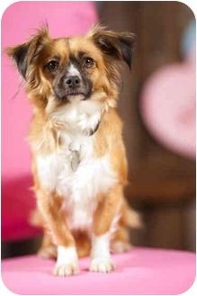 Tibetan Spaniel/Chihuahua Mix Dog for adoption in Portland, Oregon - Starla