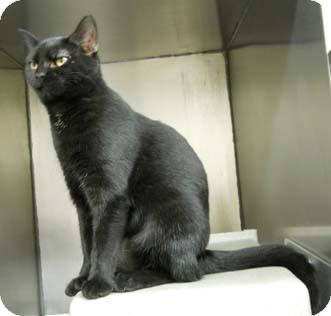 Domestic Shorthair Cat for adoption in Merrifield, Virginia - Minina