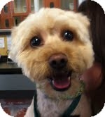 Maltese/Poodle (Miniature) Mix Dog for adoption in Boulder, Colorado - Nicole