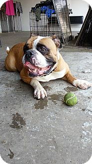 Bulldog Dog for adoption in Indianapolis, Indiana - Dixon