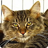 Adopt A Pet :: Chuyahoga - Lombard, IL