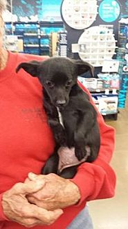 Terrier (Unknown Type, Medium) Mix Puppy for adoption in Fresno, California - SusieQ