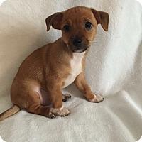 Adopt A Pet :: Paulie - Hampton, VA