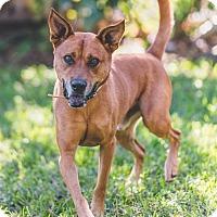 Adopt A Pet :: Fox - Miami, FL