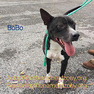Pit Bull Terrier/Boxer Mix Dog for adoption in Houston, Texas - BoBo