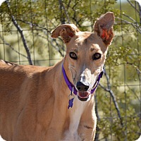 Adopt A Pet :: Rio - Tucson, AZ