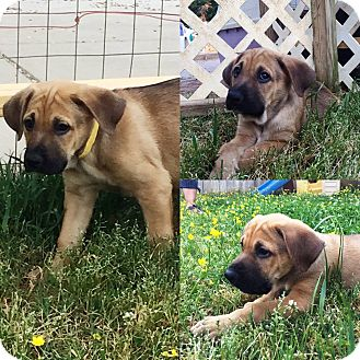 Labrador Retriever/Hound (Unknown Type) Mix Puppy for adoption in Harrisburg, North Carolina - Sneezy