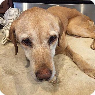 Golden Retriever/Labrador Retriever Mix Dog for adoption in Alpharetta, Georgia - Vian