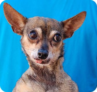 Chihuahua Mix Dog for adoption in Las Vegas, Nevada - Ariana